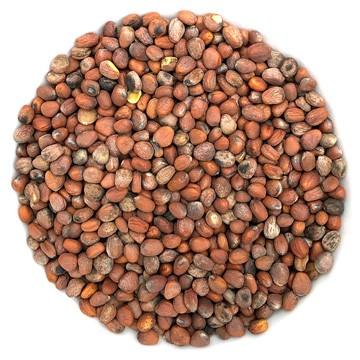 semences pour Pousses de radis biologique